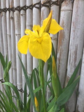Yellow Iris growing in a pot of water
